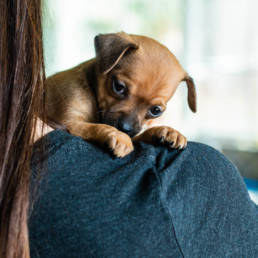 Someone holding a very small puppy over their shoulder, puppy is gazing out.