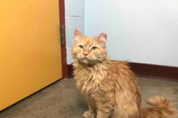 Orange long-haired cat named Carrot Cake sitting.