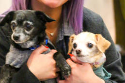 Two senior dogs in sweaters behind held.