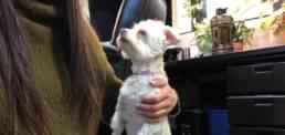 White maltese senior dog named Maizie.