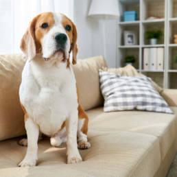 Dog sitting on sofa.