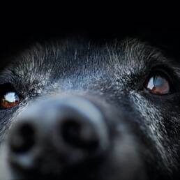 Close-up of black lab nose and eyes.