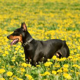 Doberman standing in field with cropped ears and docked tail.