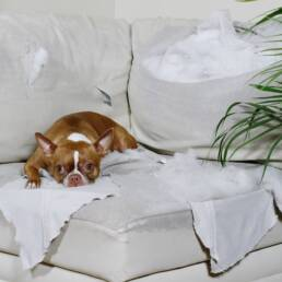 dog lying on a torn apart couch