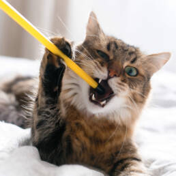 Cat grabbing and biting the end of a stick.