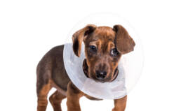 puppy wearing a cone of shame