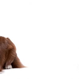 brown border collie and orange kitten on a white background.
