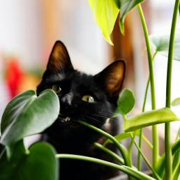 Black cat peering from behind plant.