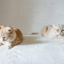 Two cats side by side on a white blanket.